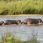 Hippopotamus, Kenya