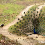 Peacock, Bandhavgarh National Park