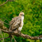 Crested Hawk Eagle, Bandhavgarh National Park