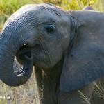 African Elephant, Botswana