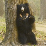 Sloth Bear, Kanha National Park