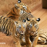 Tiger with cubs, Tadoba National Park