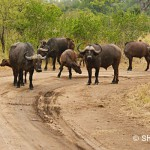 Wild Buffaloes, South Africa