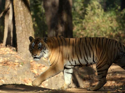 tiger safaris, kanha