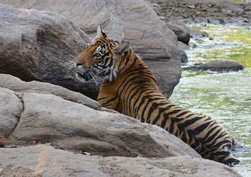 tiger, tadoba