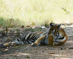kanha, tiger