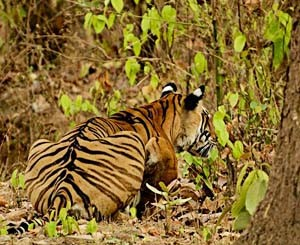 tiger, kanha, safaris