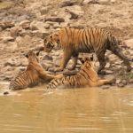 Tiger Family, Tadoba National Park