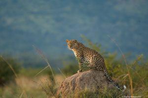leopard safaris, african safaris