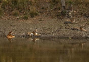 tiger safari, kanha national park